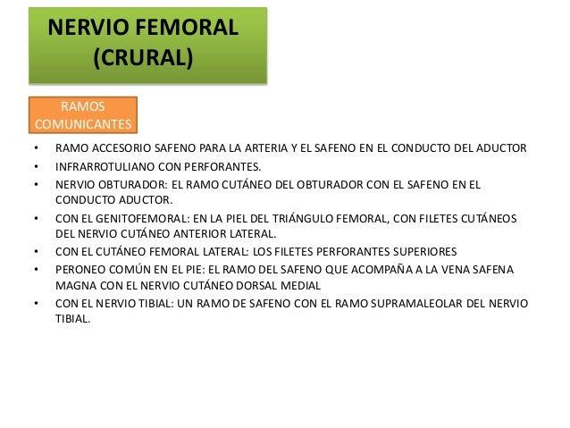NERVIO FEMORAL       (CRURAL)   RAMOSCOMUNICANTES•   RAMO ACCESORIO SAFENO PARA LA ARTERIA Y EL SAFENO EN EL CONDUCTO DEL ...