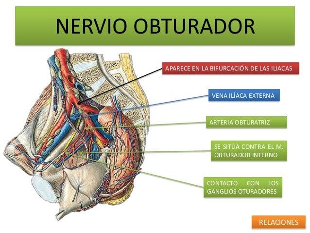 NERVIO OBTURADOR        APARECE EN LA BIFURCACIÓN DE LAS ILIACAS                      VENA ILÍACA EXTERNA                 ...