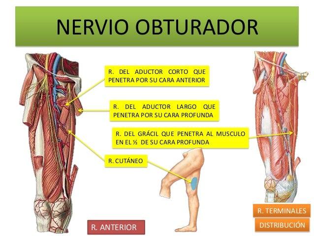 NERVIO OBTURADOR      R. DEL ADUCTOR CORTO QUE      PENETRA POR SU CARA ANTERIOR       R. DEL ADUCTOR LARGO QUE       PENE...
