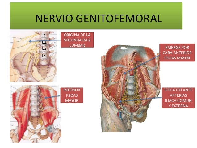 NERVIO GENITOFEMORAL L1   ORIGINA DE LA      SEGUNDA RAIZ L2         LUMBAR L3                     EMERGE POR             ...