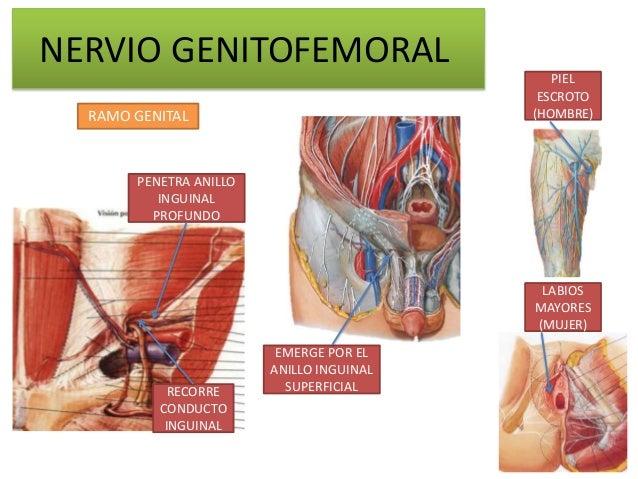 NERVIO GENITOFEMORAL                                             PIEL                                           ESCROTO  R...