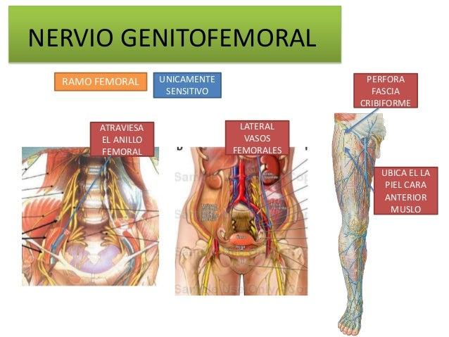 NERVIO GENITOFEMORAL  RAMO FEMORAL     UNICAMENTE                PERFORA                    SENSITIVO                 FASC...