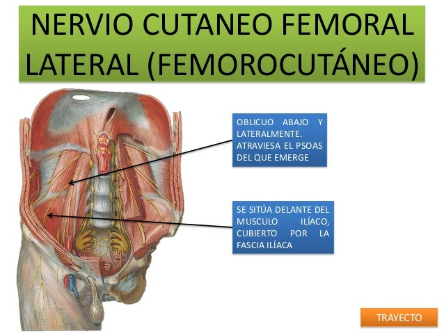 NERVIO CUTANEO FEMORALLATERAL (FEMOROCUTÁNEO)            OBLICUO ABAJO Y            LATERALMENTE.            ATRAVIESA EL ...