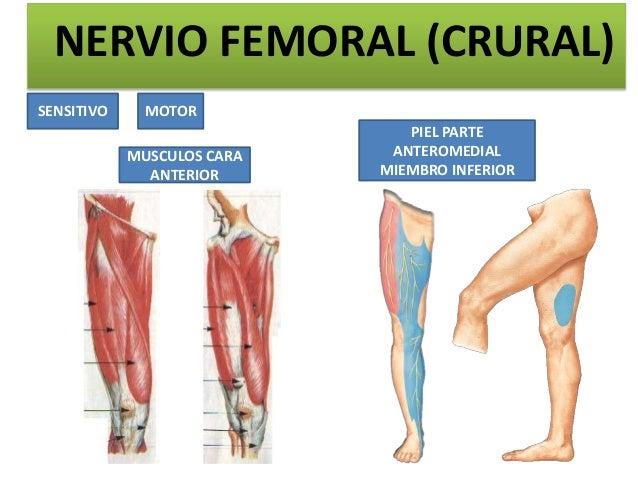 NERVIO FEMORAL (CRURAL)SENSITIVO     MOTOR                               PIEL PARTE            MUSCULOS CARA    ANTEROMEDI...