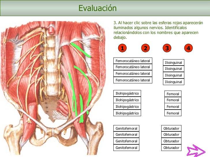 Bonito Anatomía Del Nervio Ilioinguinal Patrón - Anatomía de Las ...