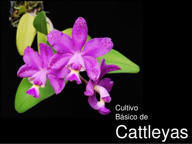 Cultivo Básico de Cattleyas