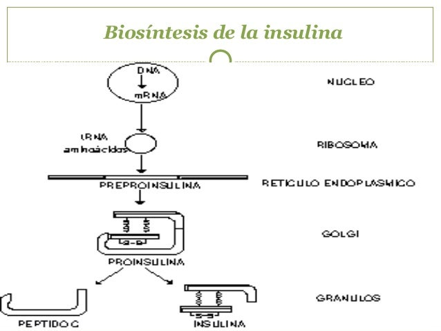 1ª fase 2ª. fase FASES DE LA SECRECION DE INSULINA tiempo Secrecióndeinsulina Estado basal