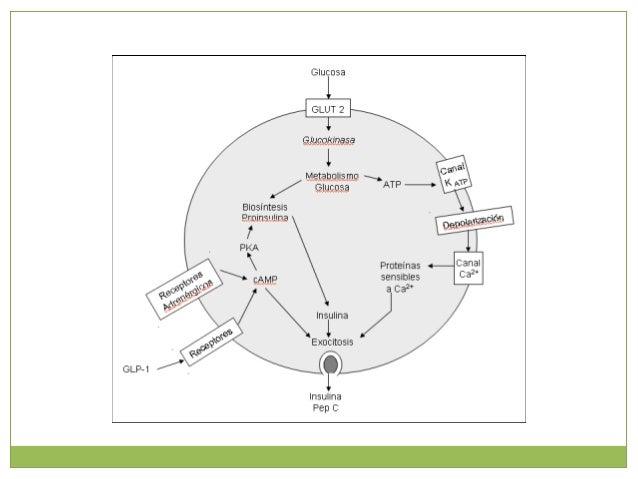 SECRECION BASAL Y SECRECION PULSATIL DE LA INSULINA El páncreas secreta de dos formas diferentes la insulina: Una lenta y ...