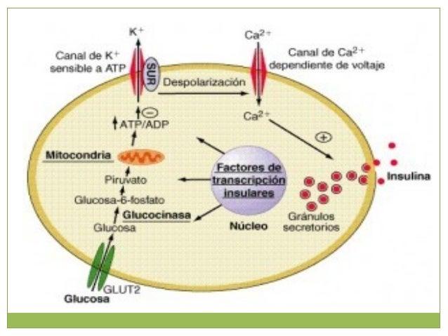 Ritmo circadianoRitmo circadiano Hay mayor respuesta de secreción de insulina después del desayuno. Hay menor respuesta de...