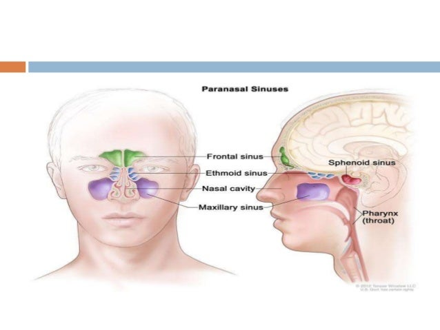Anatomy Of Paranasal Sinuses