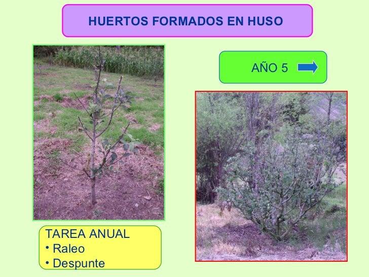 HUERTOS FORMADOS EN HUSO   <ul><li>TAREA ANUAL </li></ul><ul><li>Raleo  </li></ul><ul><li>Despunte </li></ul>AÑO 5