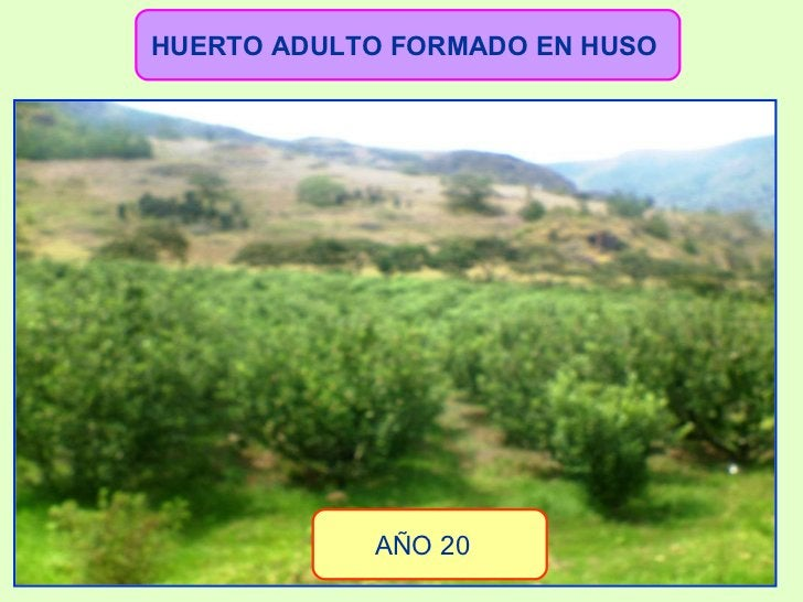 HUERTO ADULTO FORMADO EN HUSO   AÑO 20