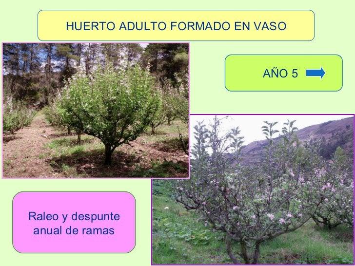 HUERTO ADULTO FORMADO EN VASO Raleo y despunte anual de ramas AÑO 5