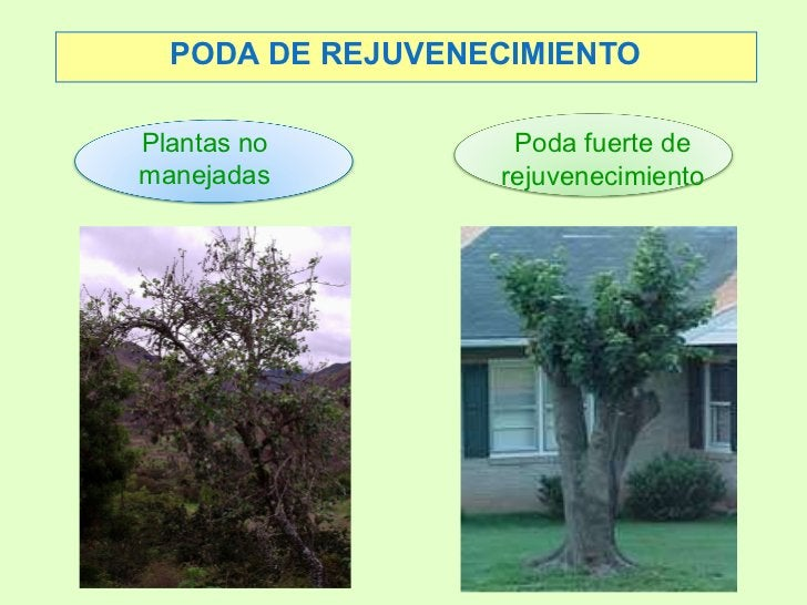 PODA DE REJUVENECIMIENTO <ul><ul><li>Plantas no </li></ul></ul><ul><ul><li>manejadas </li></ul></ul><ul><ul><li>Poda fuert...
