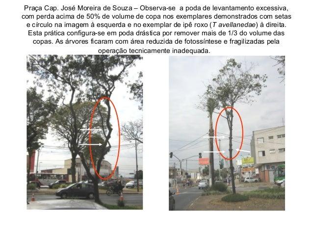 Praça Cap. José Moreira de Souza – Observa-se a poda de levantamento excessiva, com perda acima de 50% de volume de copa n...