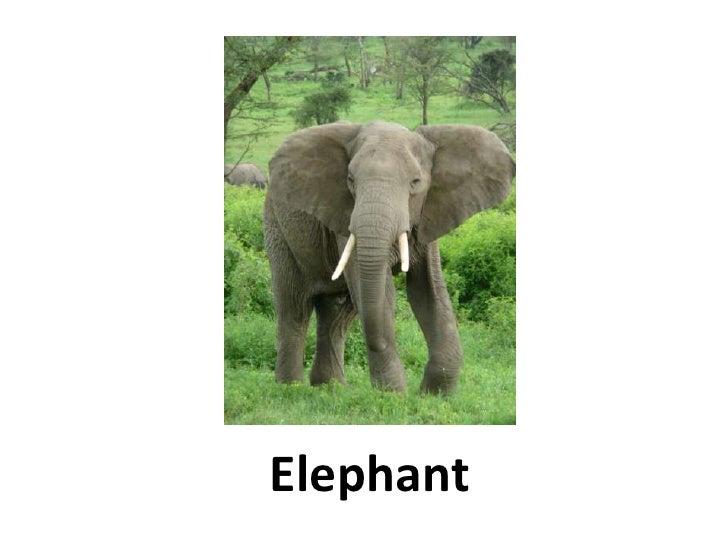 Elephant<br />