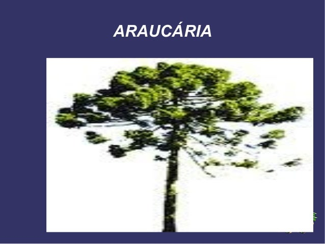 ARAUCÁRIA