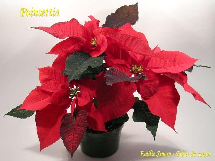 Poinsettia  Emilie Simon - Fleur de saison