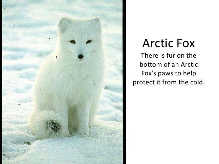 polar animals powerpoint