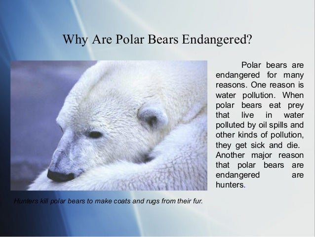 polar bears extinction These changes in polar sea ice are a result of climate changebut this isn't just affecting polar bears—climate change affects everyone.