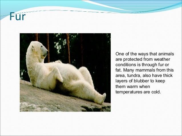 Polar bear adaptations