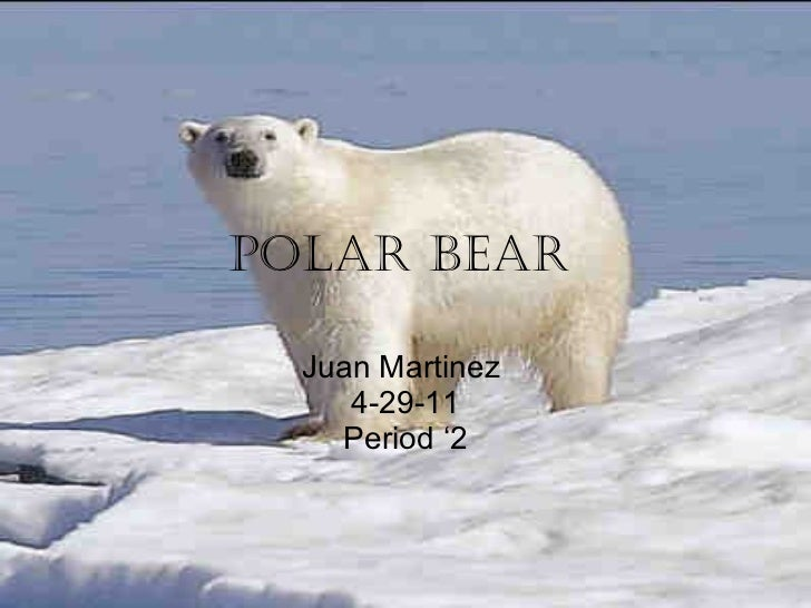Polar bear   Juan Martinez  4-29-11 Period '2