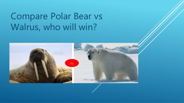 Compare Polar Bear vs Walrus, who will win? Vs