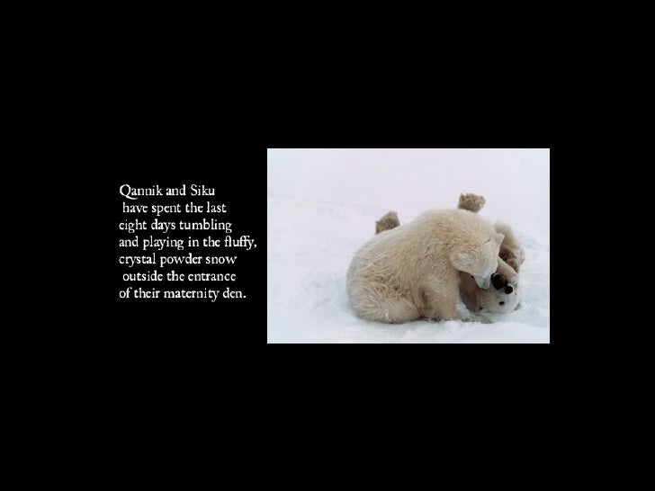 Polar Bear Week Slide 3