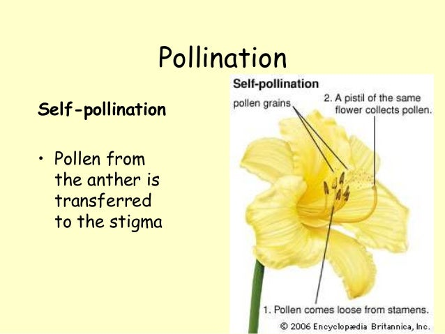 Is self pollination the same as asexual reproduction definition