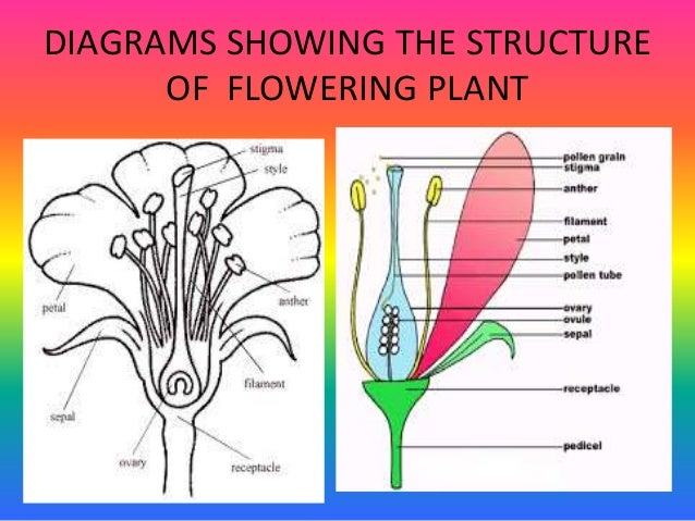 Pollination and fertilization diagrams showing the structure of flowering plant ccuart Images