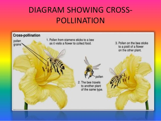 Pollination and fertilization diagram showing cross pollination ccuart Images
