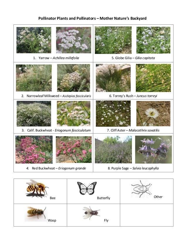 Pollinator Plants and Pollinators – Mother Nature's Backyard1. Yarrow – Achillea millefolia 5. Globe Gilia – Gilia capitat...