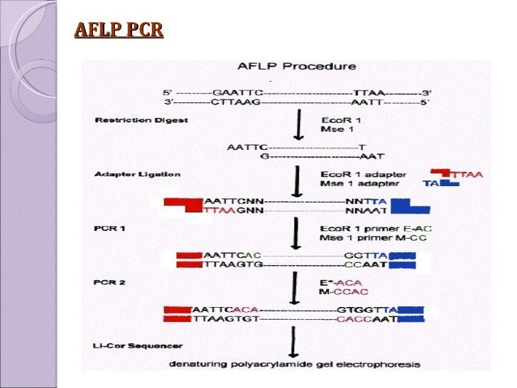 AFLP PCR