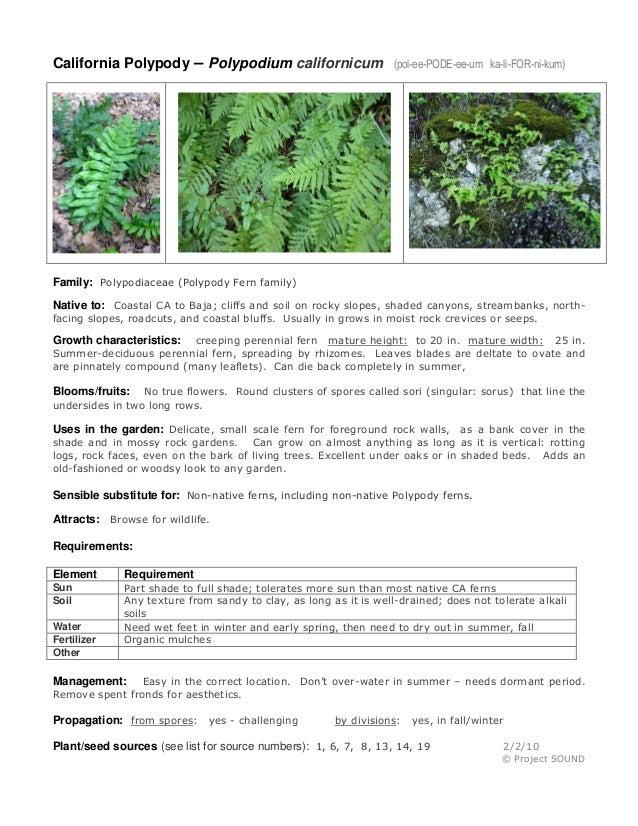 California Polypody – Polypodium californicum  (pol-ee-PODE-ee-um ka-li-FOR-ni-kum)  Family: Polypodiaceae (Polypody Fern ...