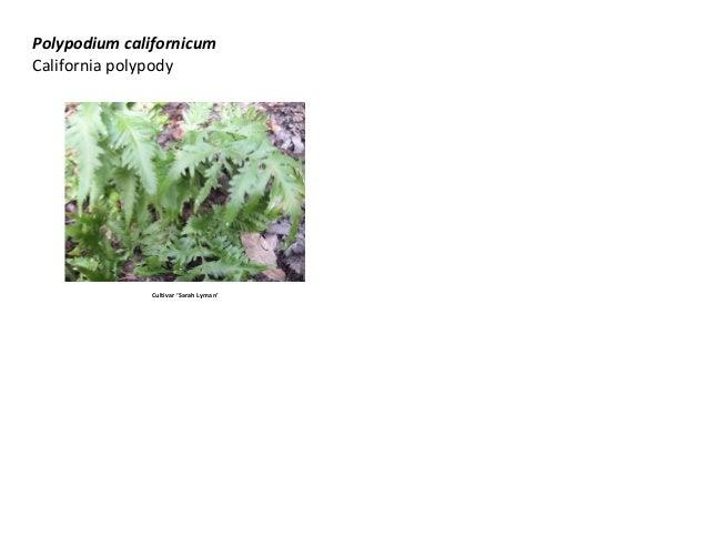 Polypodium californicum California polypody  Cultivar 'Sarah Lyman'