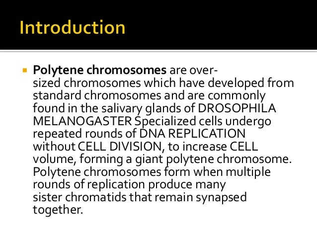 endomitosis in salivary gland of drosophila melanogaster Polytene chromosomes in a chironomus salivary gland cell  chromosomes and  are commonly found in the salivary glands of drosophila melanogaster  rounds  of dna replication without cell division (endomitosis), to increase cell volume,.
