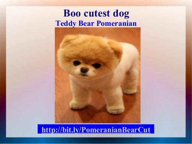 Berühmt Pomeranian bear cut &LZ_29