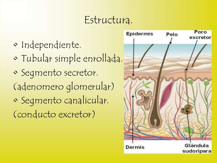 Ponencia glandulas sudoriparas ecrinas
