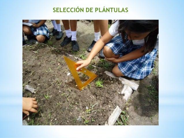 SELECCIÓN DE PLÁNTULAS