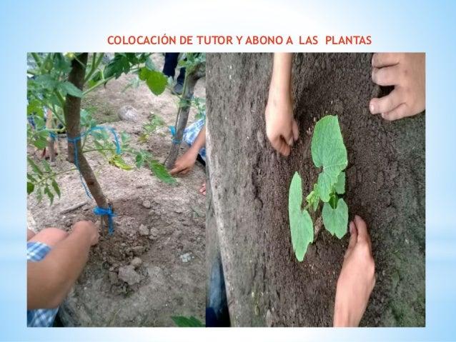 COLOCACIÓN DE TUTOR Y ABONO A LAS PLANTAS