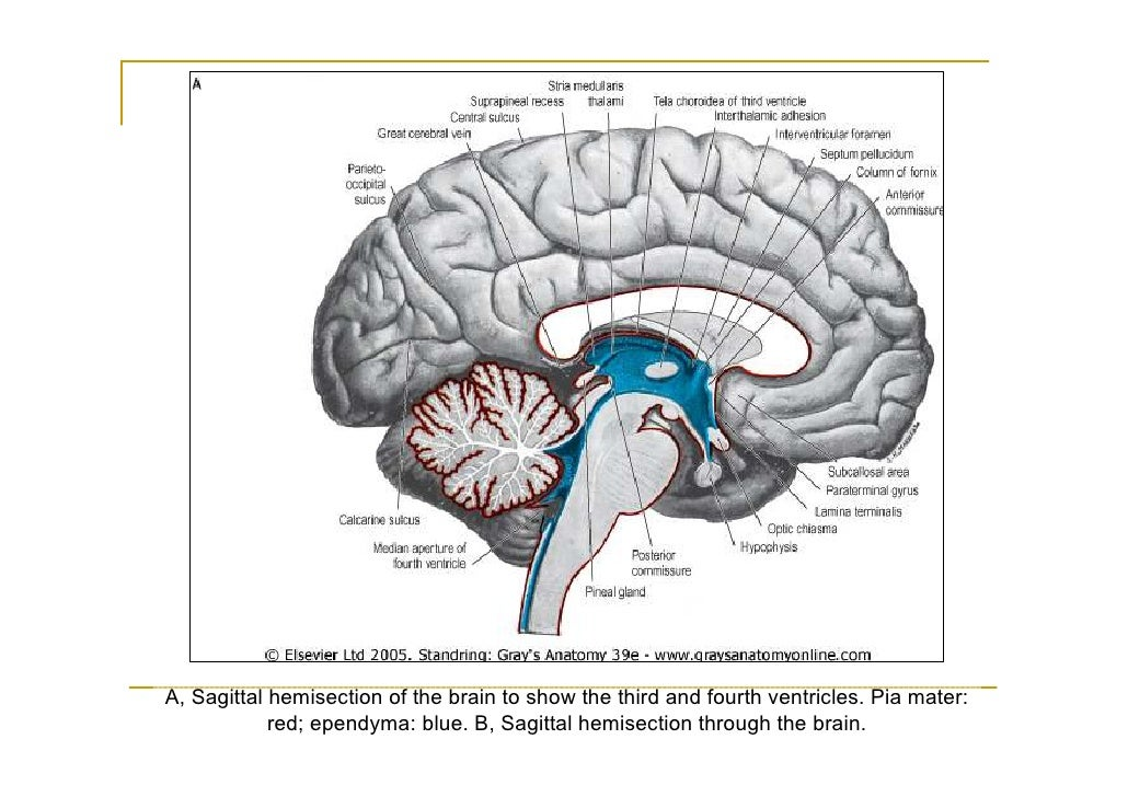 Enterprise F Concept Dedication Class 413125224 besides Wedel And Taylor 2013 On Sauropod Neural Spine Bifurcation as well Fourth Ventricle also Pa 2010 Peripheral Nervous System as well 1059. on dorsal and ventral views