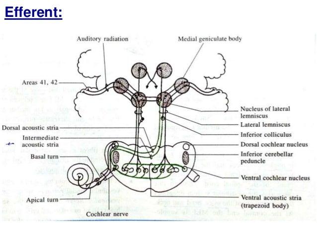 pons anatomy
