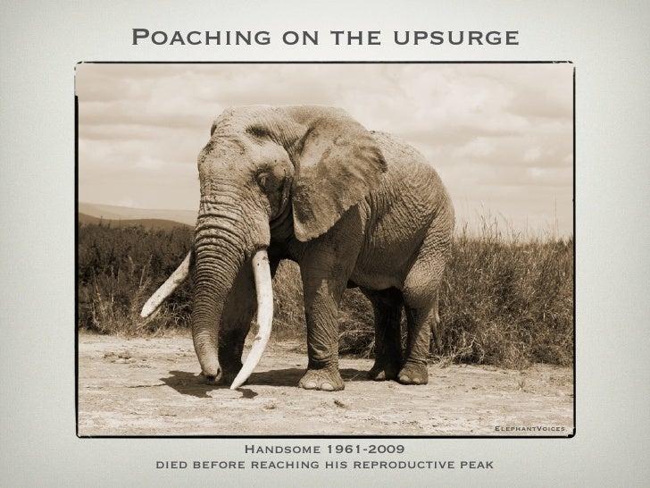 Poaching on the upsurge                                                   ElephantVoices              Handsome 1961-2009  ...