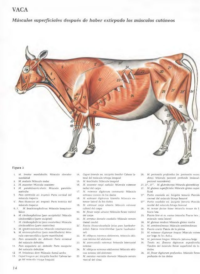 Popesko peter-atlas de anatomia topografica de los animales domestico…