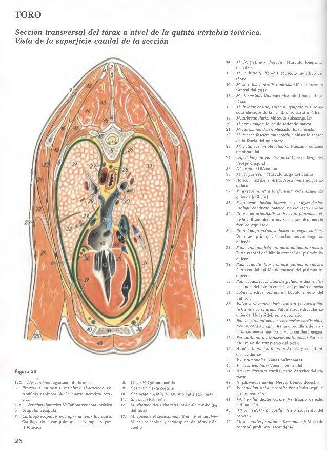 Famoso Cuello Anatomía De La Sección Transversal Friso - Imágenes de ...