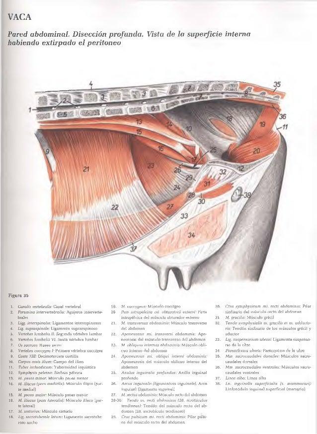 Perfecto Anatomía Interna Cerdo Fetal Fotos - Imágenes de Anatomía ...
