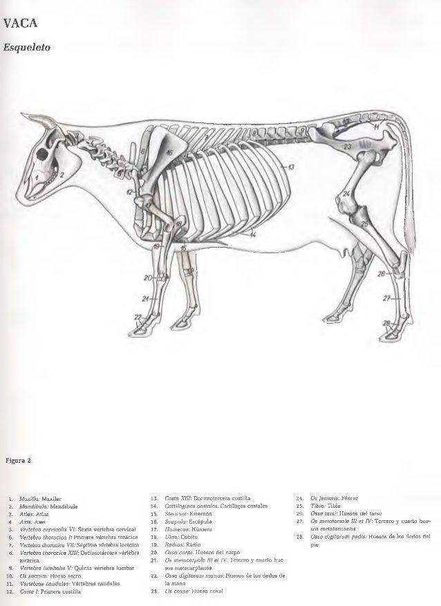 Excepcional Anatomía Huesos De Vaca Colección - Imágenes de Anatomía ...
