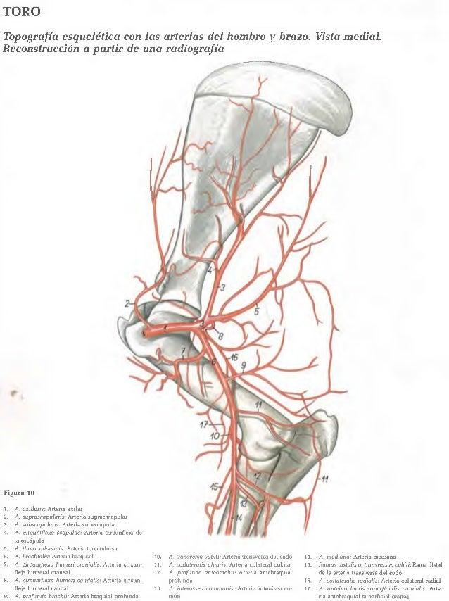 Moderno Arteria Axilar Ideas - Imágenes de Anatomía Humana ...
