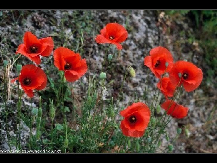Poppies Slide 3