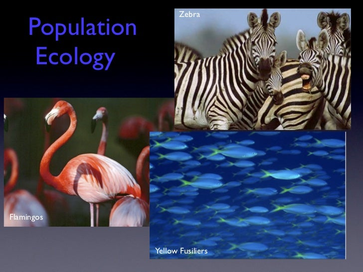 Zebra     Population      EcologyFlamingos                  Yellow Fusiliers